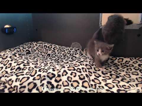 Kittens flee nest in protest over new blanket!  TinyKittens.com