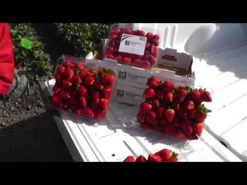 Live from the Fields: Strawberries. Salinas, CA