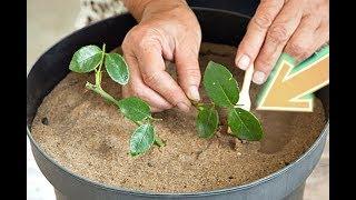 Посадите розы в ноябре черенками дома этим способом, для волшебного цветения на следующий год!