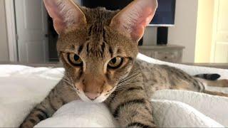 Adorable Savannah Cat Taj Cuddling With His Mom! Cuteness Overload! #cute #cat #video