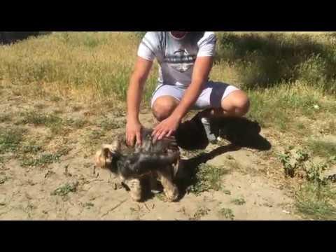 Как свести собаку с собакой