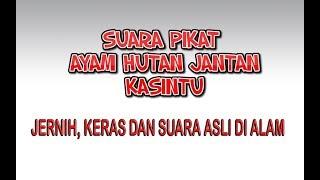 Download Mp3 Suara Pikat Ayam Hutan Jantan Kasintu, Jernih Dan Asli