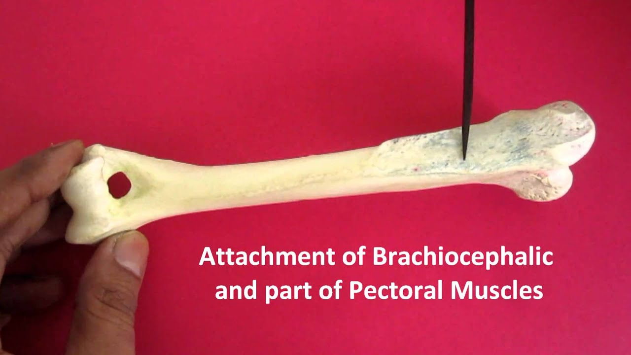 Anatomy of Humerus of Dog - by Dr Banga - YouTube