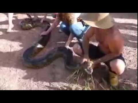 Ловить анаконду видео