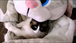 Тимо   кот, который обожает мягкие игрушки