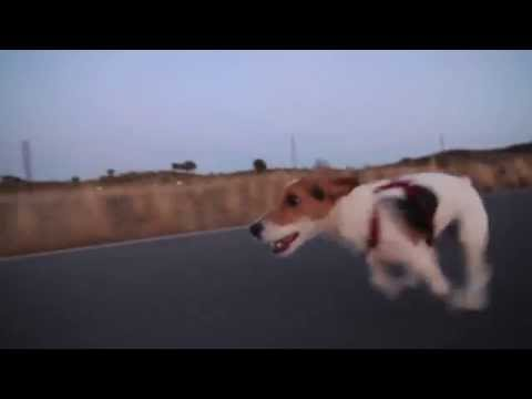 Rem the Dog Raw Run jack russel terrier running like hell