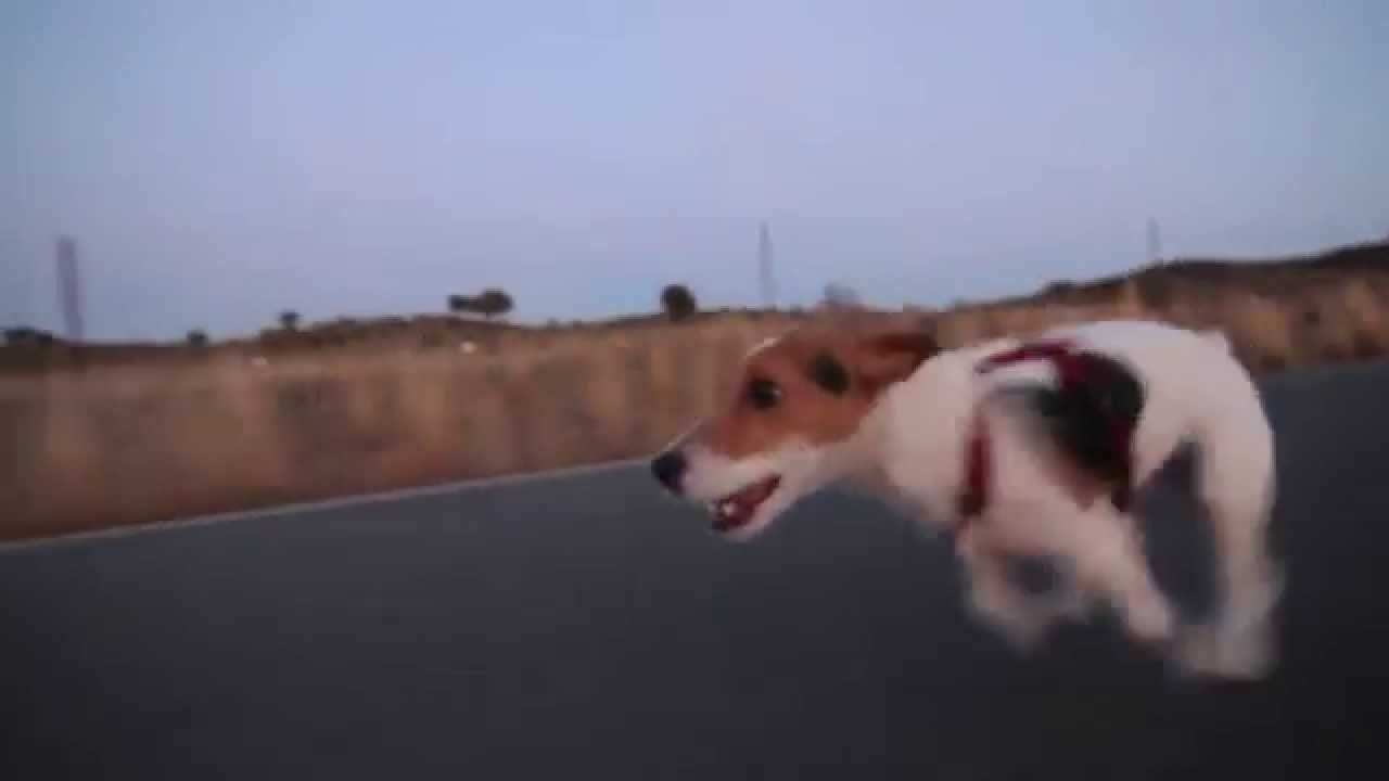 Rem the dog raw run jack russel terrier running like hell youtube - Jack russel queue coupee ...