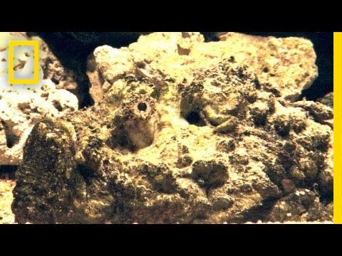 Stonefish Strikes Without Warning | National Geographic