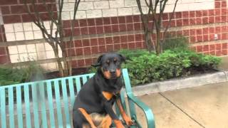 Private Seminar With Nick: 7 Month Old Rottweiler, Ayla!  Celebrity Dog Trainers