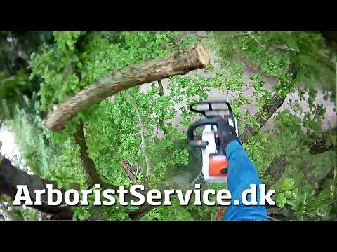 Pruning storm damaged oak - Tree climbing Arborist - Beskæring af træer i Odense
