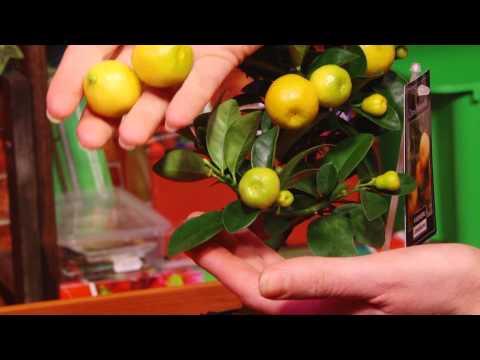 Выращиваем цитрусовые дома