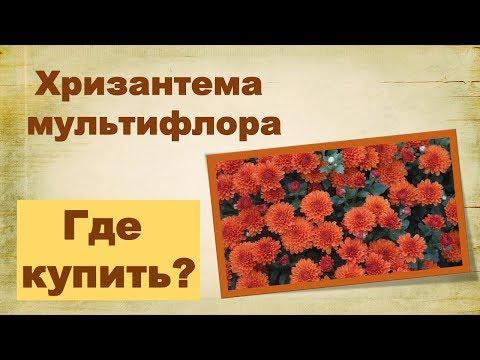 Хризантемы мультифлора. Где купить?