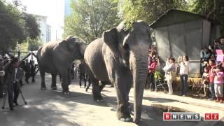 шествие слонов в алматы - видео Руслана Канабекова