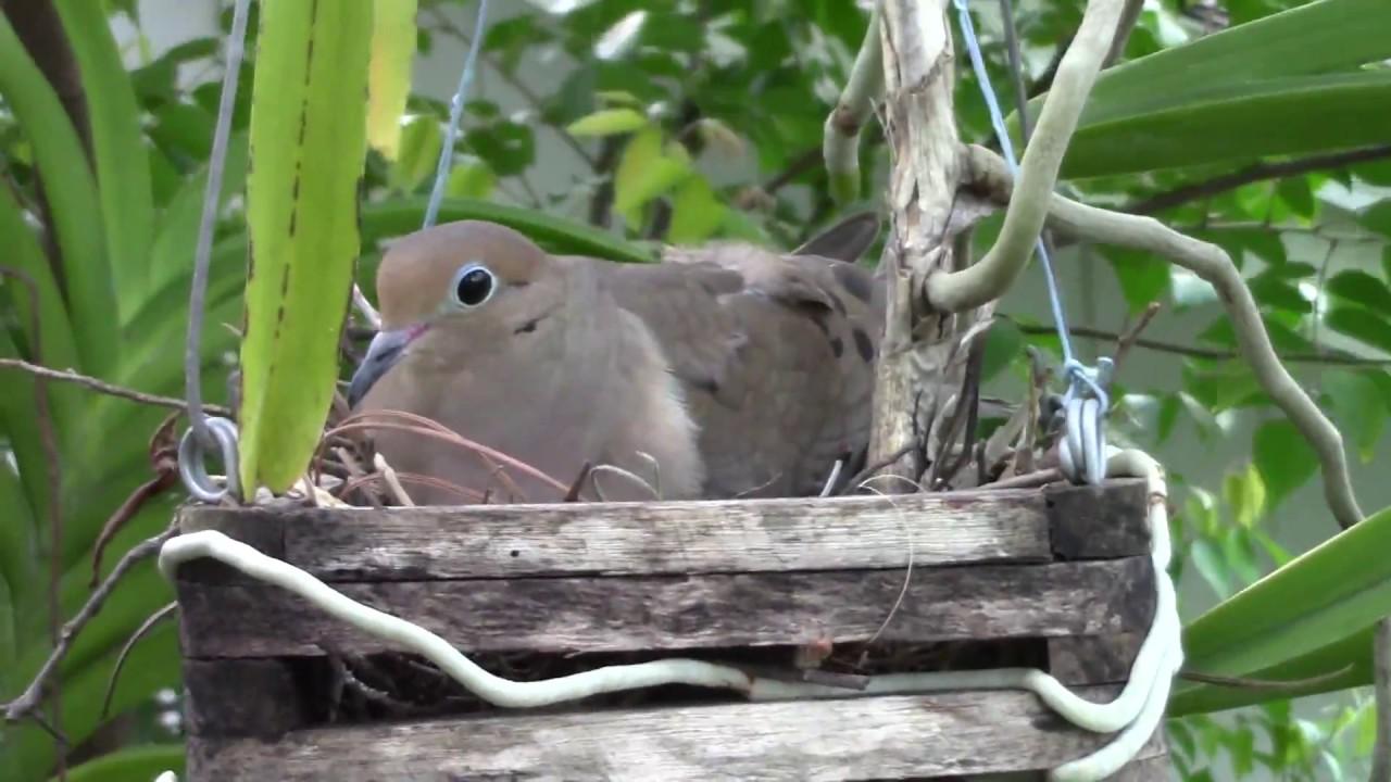 bird nest in a orchid flower basket on a jackfruit tree