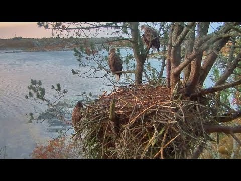 Smola Norway Eagles Cam ~A Family Affair; Baron Joins Solo & Mom Part Two 10.14.17