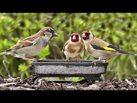 Garden Birds ( Day 19 ) Goldfinch, House Sparrow, Dunnock, Bullfinch