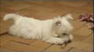Westie Pup (rip) Pool Drowning Friday 13 June 2008