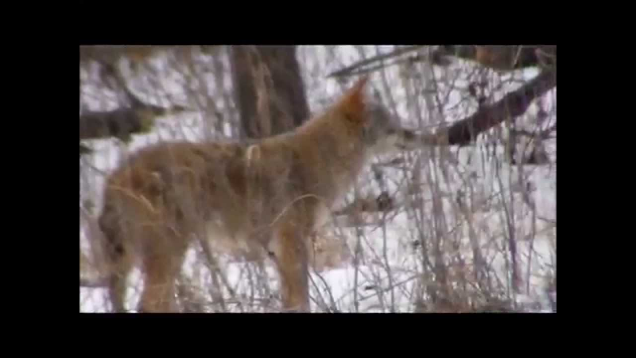 Coyote Hunting Prey