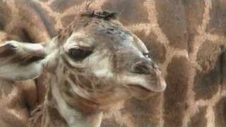 """Giraffe Birth video """"Hasani"""" 8/10/09 Houston Zoo http://www.houstonzoo.org The Houston Zoos Masai giraffe herd has grown to seven with the addition of a bouncing baby boy.  The calf was born to mom Tyra shortly after 8 a.m. on Monday, August 10.  Tyra went into labor around 6 in the morning and the calf was standing and nursing by 9 a.m., said Hoofed Stock Supervisor Laurie McGivern.  Hes a big boy, said McGivern. Tyra always delivers big babies but this big boy stands a bit over 6 feet tall, she added.  Tyra is 11 years old.  Kiva, the father is 13 years old.  The arrival of the newborn giraffe follows the birth of another Masai giraffe this year, Miles on January 30 to Noel.  With the latest arrival, the Houston Zoos herd of Masai giraffe now includes 4 males and 3 females.   While Masai giraffes are not threatened or endangered in their native habitat, there are only 88 of them in North American zoos.  Giraffe breeding at the Houston Zoo follows guidelines established by the American Zoo and Aquarium Associations Population Management Plan (PMP) program."""