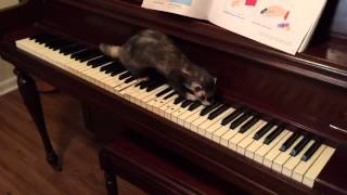 Just for fun: Joey the Musical Ferret