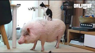 아무나 갖기 힘든 캣타워인고양 l Meowjesty Cat Uses His Rommie Pig As A Cat Tower