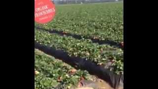 Naturipe Farms - Organic Strawberries in Oxnard, CA