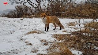 Встреча с лисичкой на мысе Тобизина, автор - Прохватилов Антон, Instagram: @anton_phlov