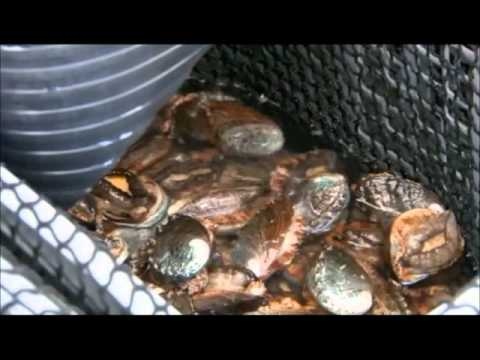 The Amazing World of NELHA: Big Island Abalone
