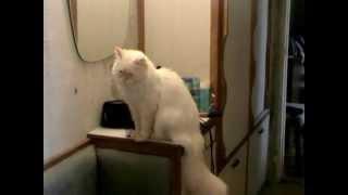 Невский маскарадный кот Вильям