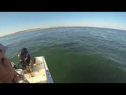 Great White shark attacks seal Chatham 2014