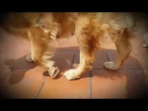 9212 501 257 Golden Retriever dog puppies for sale in Delhi Dwarka Pet Shop dog kennel