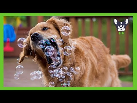 Ultimate Funniest and Cutest Golden Retriever Videos (2018)
