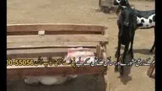 Bakriun ki afzaish/Goat farming technology-2   Dr.Ashraf Sahibzada