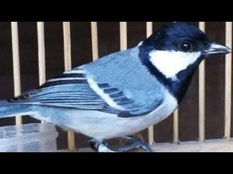 Suara Kicau Burung Gelatik Yang Merdu Dan Bervariasi Buat Masteran Mp3