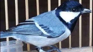 Suara Kicau Burung Gelatik Yang Merdu Dan Bervariasi Buat Masteran