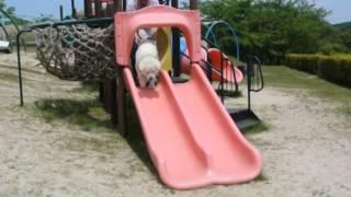 すべり台が大好きな秋田犬の白太郎ちゃん。足を滑らせてしまい、転んで...