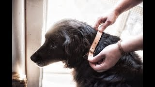 Making A Leather Dog Collar (by Hand!)