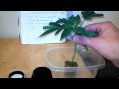 How to Clone Pre-98 Bubba Kush from Cali Connection - My Methods