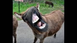 Funny donkey sounds HD