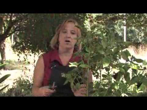 How To Prune A Hibiscus Plant Youtube