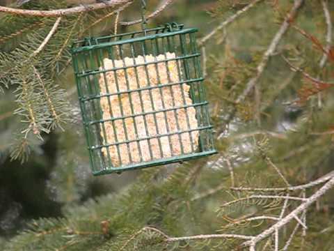Black-capped Chickadee on Suet