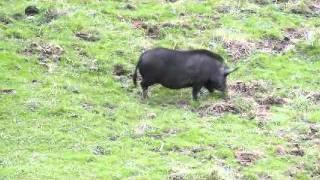 CA Wild boar hunt: Threes a charm (Rhinos Guide Service)