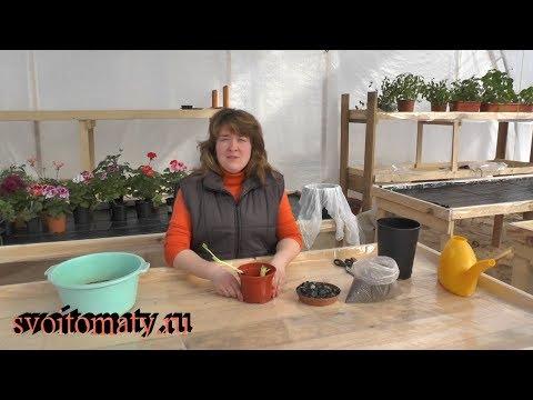 Как сохранить корни пионов до весны в домашних условиях