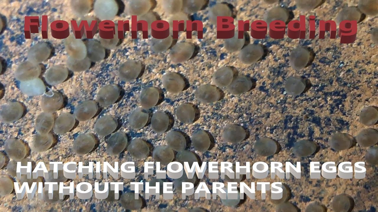 How to breed flowerhorn fish. Process Day by Day in Hindi ...