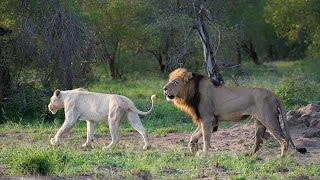 White Lioness Mating with Trilogy Male Lion