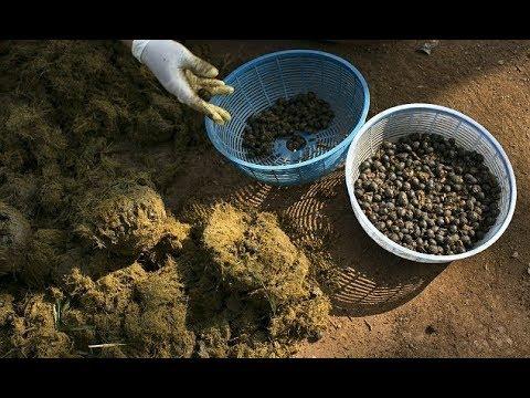 fil dışkısı kahve ile ilgili görsel sonucu