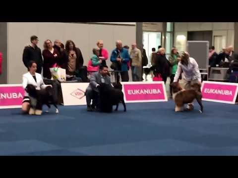 WDS 2017 Portuguese water dog Open class female