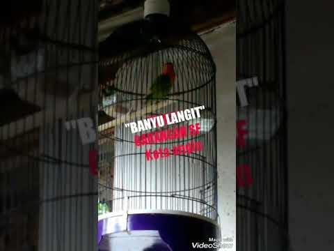 Lovebird super gacor durasi 2 menit BANYU LANGIT, garangan sf kota angin