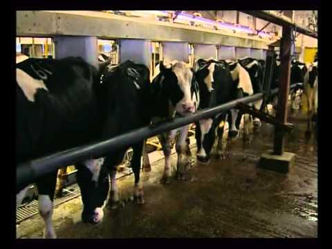 Бабу доят как корову видео фото 635-923