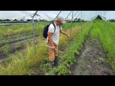 Florida Weave Tomato Trellis (Growers Helping Growers)
